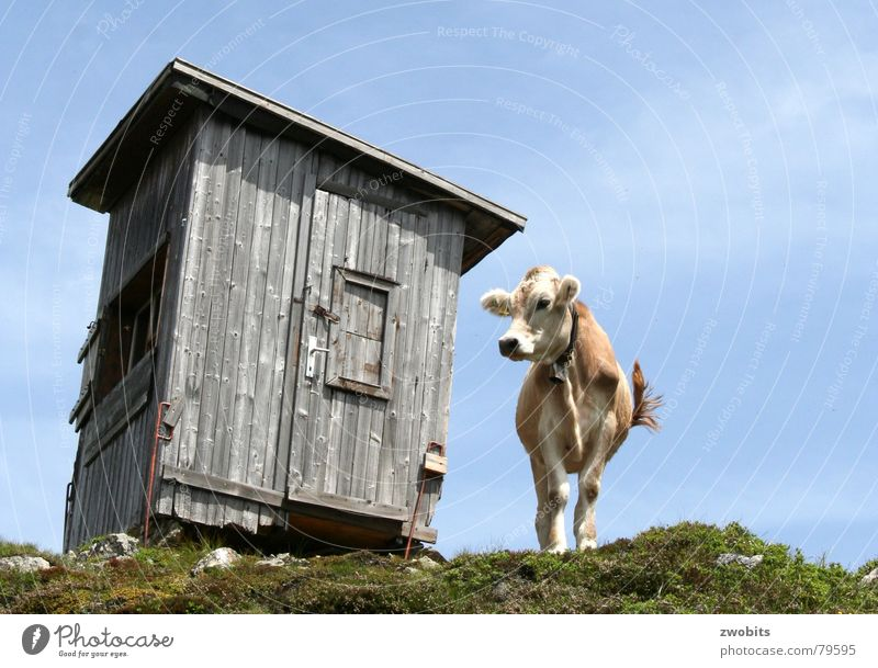 Here I rule! I Arrogant Mountain dweller Austrian Cow Summer Worm's-eye view House (Residential Structure) Alpine Meadow Hut Sky Pride Alps Nature Blue