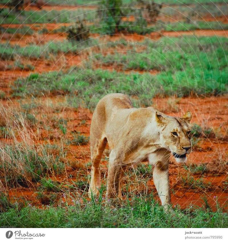 Queen Far-off places Safari Animal Sand Warmth Exotic Savannah Kenya Wild animal Animal face Lioness 1 Movement Going Hunting Authentic Threat Astute Beautiful