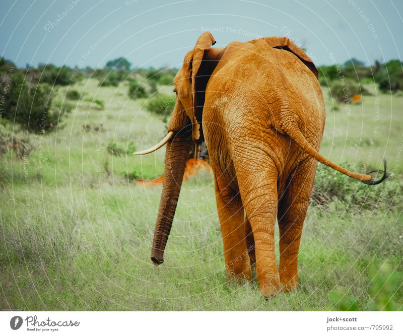 elephant effortlessness Colour Loneliness Animal Far-off places Warmth Life Movement Grass Natural Freedom Healthy Dirty Contentment Wild animal Stand