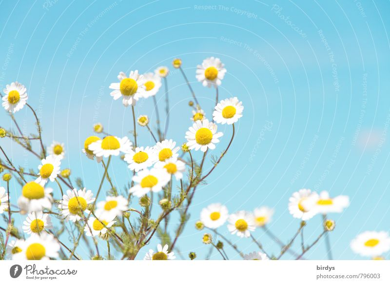 chamomile Cloudless sky Summer Beautiful weather Blossom Agricultural crop Wild plant Chamomile Camomile blossom Blossoming Fragrance Esthetic Fresh Healthy