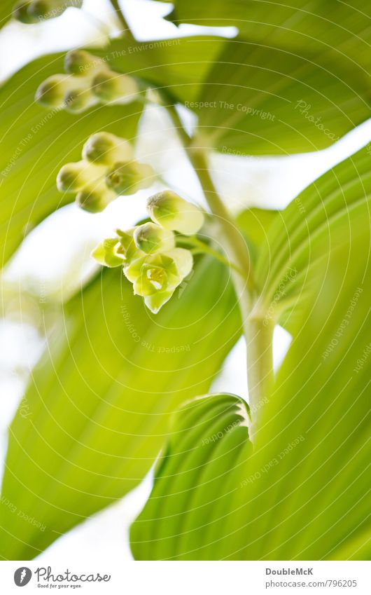 Chinese Lily of the Valley Nature Plant Flower Blossom Foliage plant Lily of the valley Blossoming Fresh Natural Green White Contentment Serene Relaxation Life