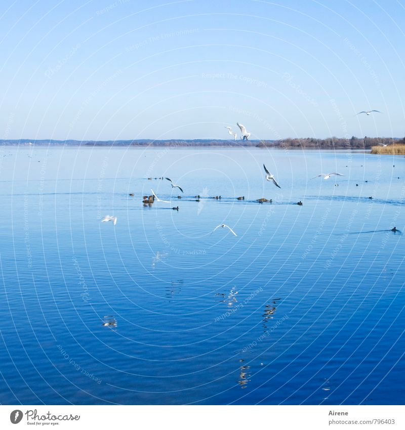 air traffic Vacation & Travel Landscape Water Sky Cloudless sky Beautiful weather Lakeside Lake Chiemsee Bavaria Upper Bavaria Chiemgau Animal Bird Coot Seagull