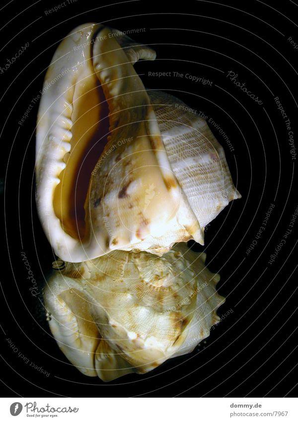 Mirror Mussel