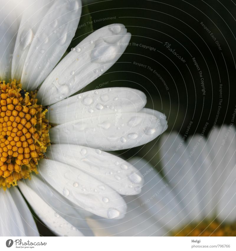 wet Environment Nature Plant Summer Rain Flower Blossom Marguerite Blossom leave Garden Blossoming Growth Esthetic Authentic Beautiful Wet Yellow Black White