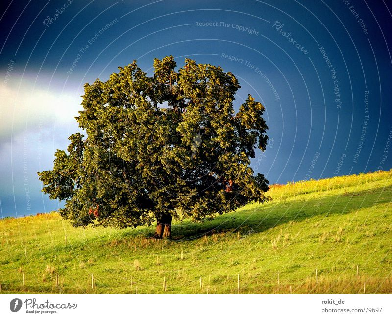 My friend the tree... Tree Meadow Allgäu Sunset Green Black Dark Leaf Fence Slope Clouds Rieden Pasture Loneliness Calm Romance Deciduous tree Summer Sky
