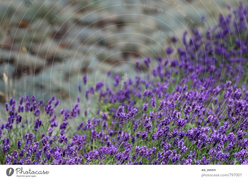 Lavender field III Herbs and spices Cooking oil Organic produce Beautiful Healthy Wellness Harmonious Meditation Fragrance Vacation & Travel Environment Nature