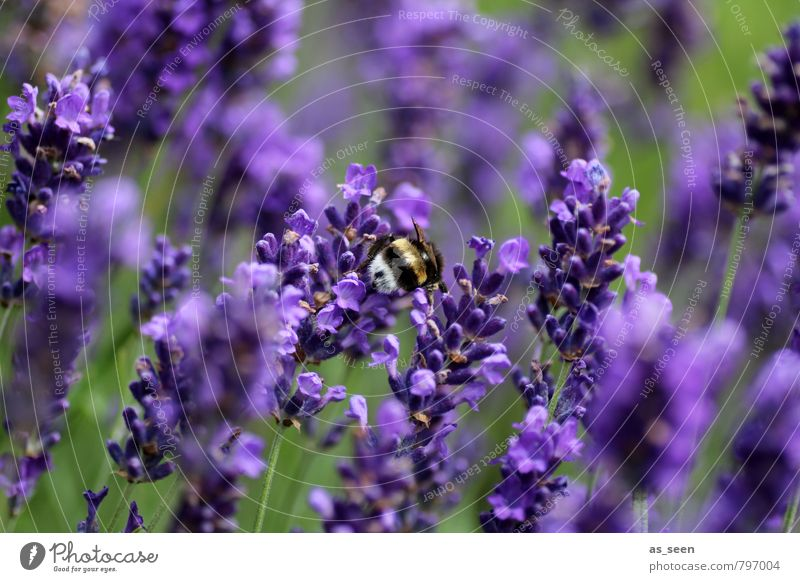In lavender Herbs and spices Organic produce Nature Summer Flower Blossom Garden Animal Bumble bee Insect 1 Lavender Touch Blossoming Flying Illuminate Growth