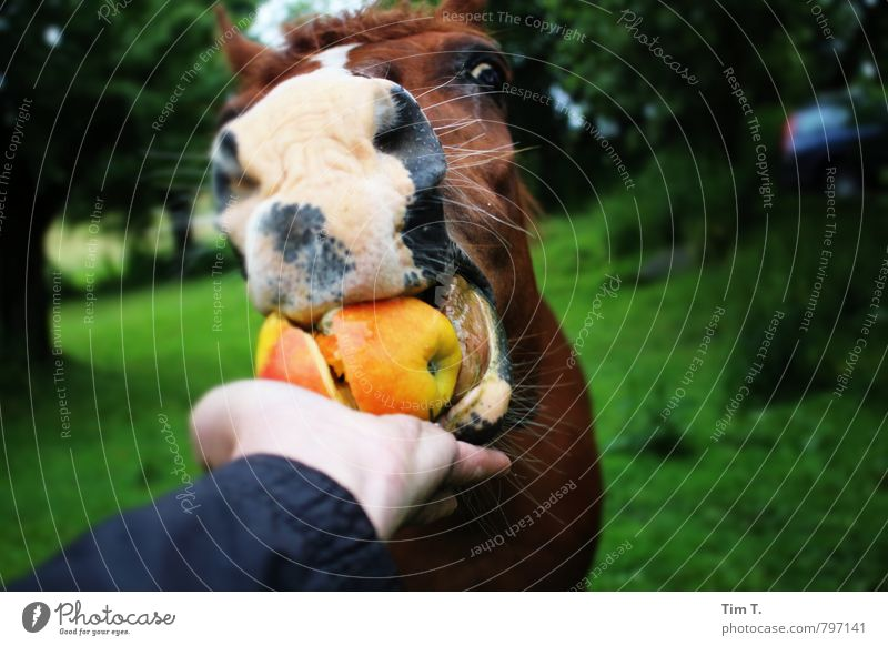 horse apple Nature Summer Animal Farm animal Horse Animal face 1 Contact Services Feeding To feed Colour photo Exterior shot Deserted Day Animal portrait