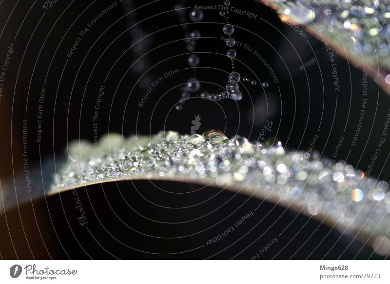 Reed with morning dew Prism Common Reed Light Leaf Spider's web Rope Drops of water Shadow