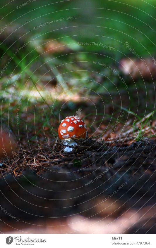 Nature Plant Forest Stand Point Mushroom Poison Woodground Amanita mushroom