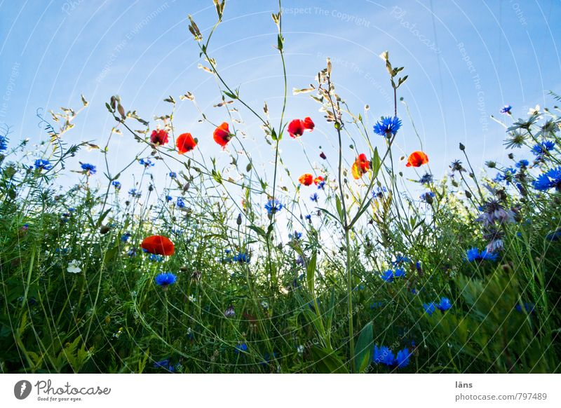 clearing Trip Summer Summer vacation Environment Nature Landscape Plant Sky Beautiful weather Grass Blossom Wild plant Poppy Poppy field Cornflower
