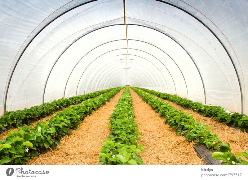 strawberry tunnel Agriculture Forestry Spring Summer Plant Agricultural crop Strawberry Greenhouse Growth Esthetic Long Yellow White Perspective Calm Tunnel