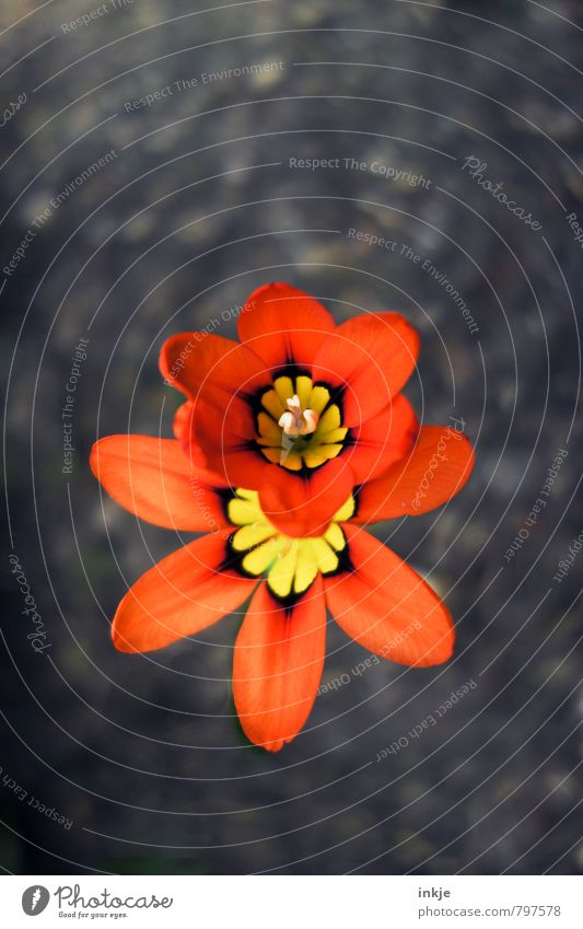 double decker Nature Plant Earth Spring Summer Flower Blossom Freesia Garden Park Blossoming Natural Beautiful Brown Orange Red Growth Change Behind one another