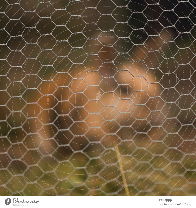 wire mesh fence Animal Pet Pelt 1 Crouch Hare & Rabbit & Bunny Captured Wire Wire netting fence Cage Grid Hay Ear Easter Bunny Colour photo Exterior shot Day