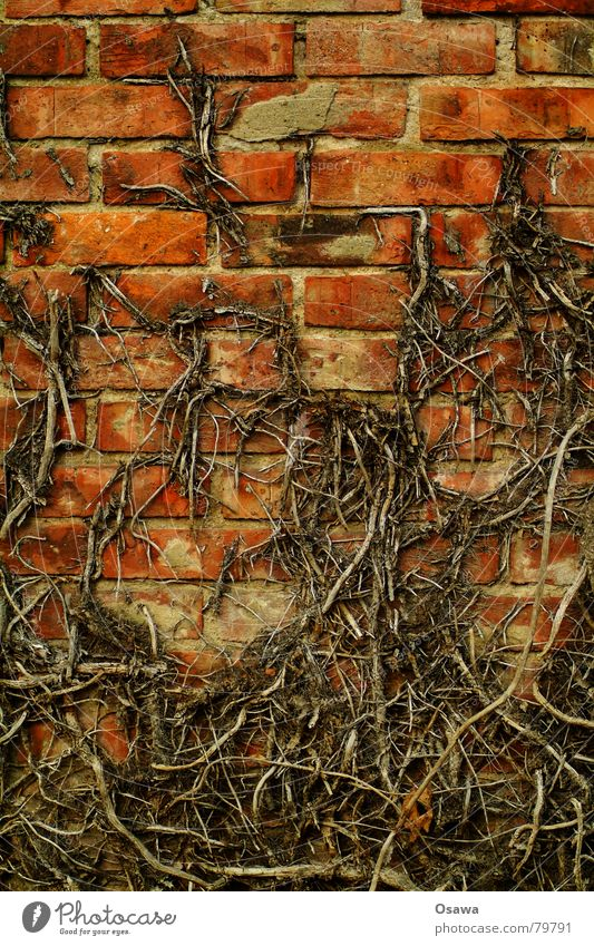 ivy Green facade Header brick Stretcher brick Wall (building) Brick Wall (barrier) Ivy Seam Grid Structures and shapes Tendril Creeper Winter Derelict Fear