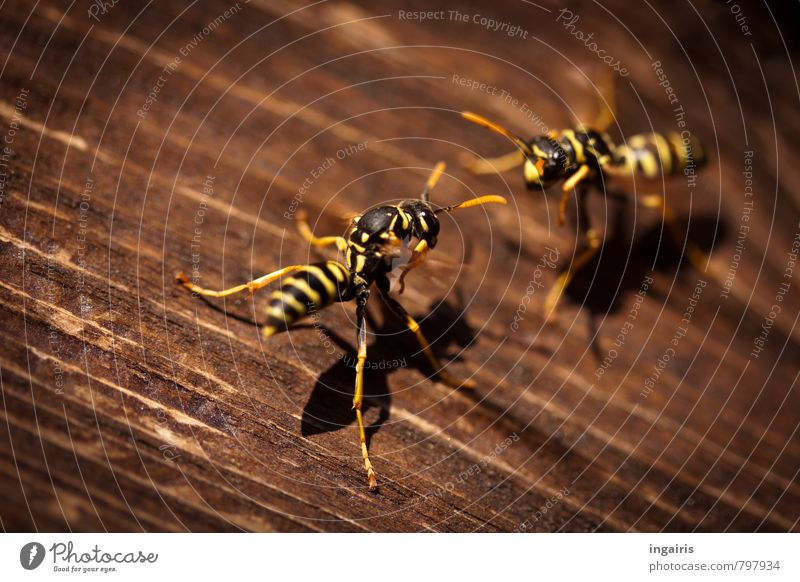 thermodynamics Nature Summer Climate Weather Warmth Wooden board Wooden wall Animal Wasps field wasp Insect Movement Crouch Together Hot Small Brown Yellow
