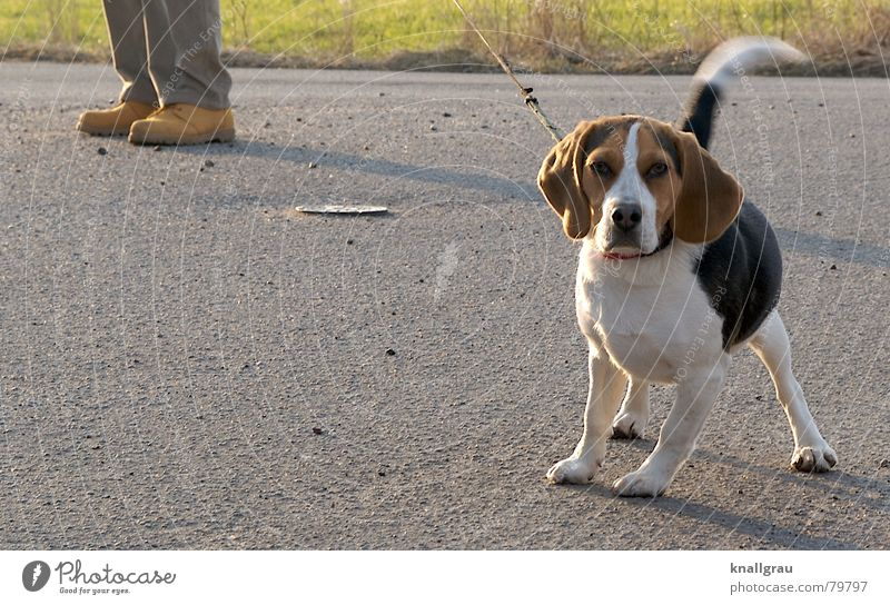 On the leash Beagle Lop ears To go for a walk Down-to-earth Adhere to Testing & Control Voyeuristic Open Freedom Dog Small Footwear Curiosity Pet Discover Fix