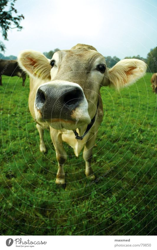 Green Eyes Glittering Tall Large Friendliness Curiosity Alps Pasture Ear Switzerland Cow Loyalty Welcome Thrifty Animal