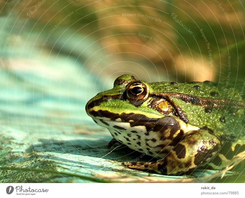 Blue Water Green Sun Eyes Grass Jump Speed Kissing Dive Catch Fat Frog Boredom Edge Frogs