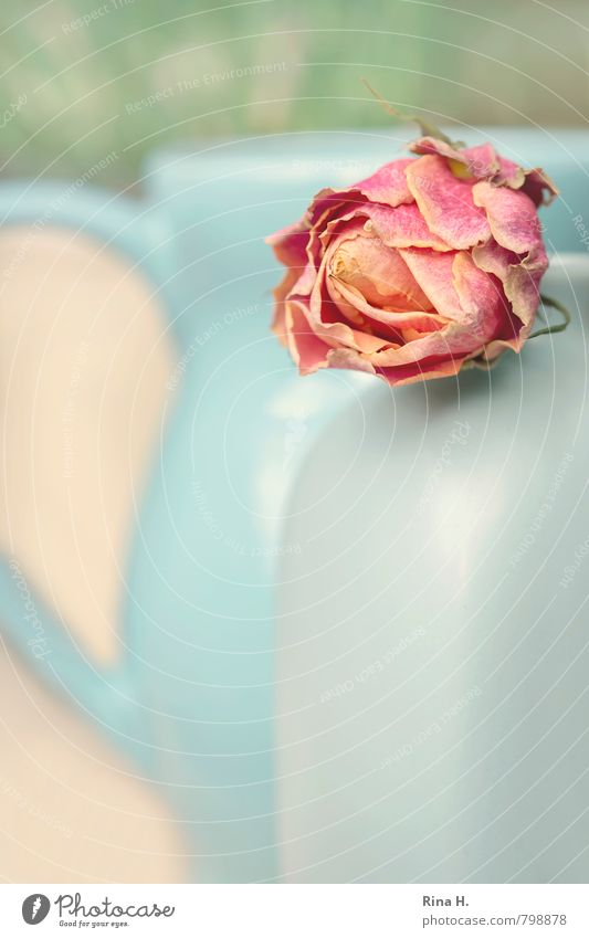Blue Green Pink Transience Rose Still Life Vase Faded Jug To dry up
