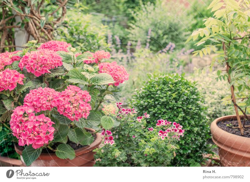 Plant Summer Relaxation Flower Garden Idyll Contentment Bushes Blossoming Joie de vivre (Vitality) Pot plant Hydrangea Geranium Box tree