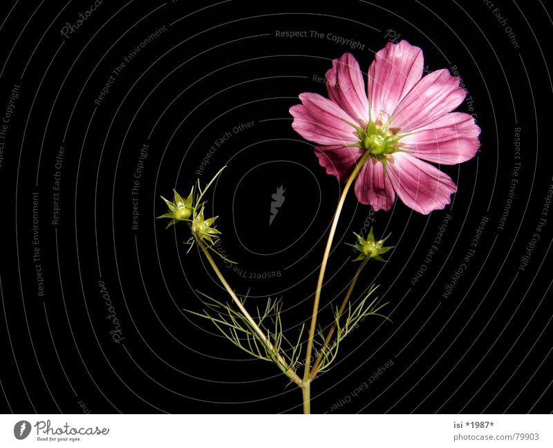 turn away Blossom Flower stem Total Absolute Optimal Magenta Pink Violet Plant Delicate Perfect Meadow flower Purple Stalk Noble Botany Pollen Wary Flowerbed