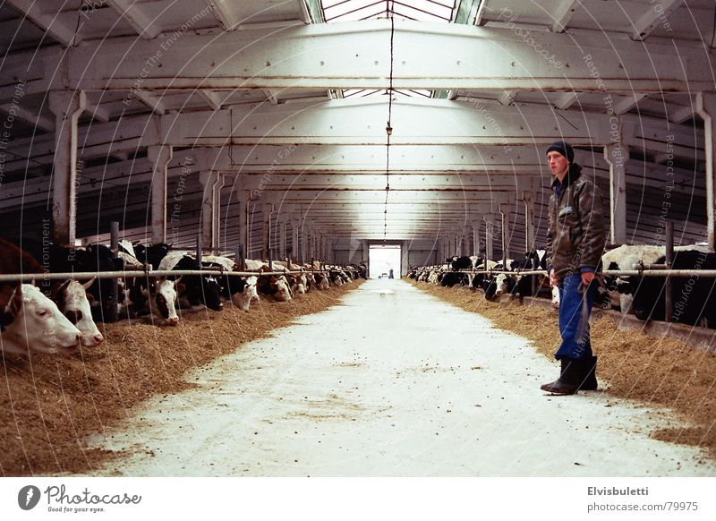 Farm Agriculture Farmer Bull Barn Cattle Vanishing point Ranch Ukraine Cowshed Planter