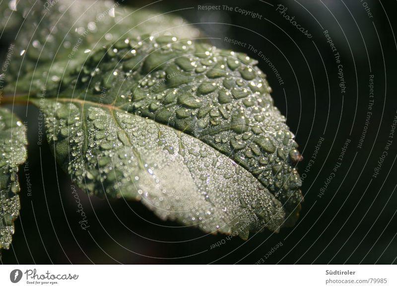 Leaf Rain Drops of water Wet Damp Rachis Apple tree