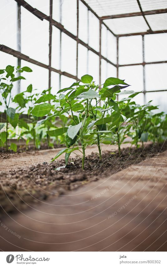 Nature Plant Natural Healthy Garden Esthetic Gardening Foliage plant Agricultural crop Pepper Greenhouse Breed
