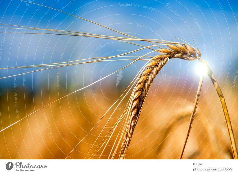 Barley, single ear with sun reflex Food Grain Life Summer Agriculture Forestry Plant Sky Clouds Agricultural crop Field Blue Ear of corn golden Mature