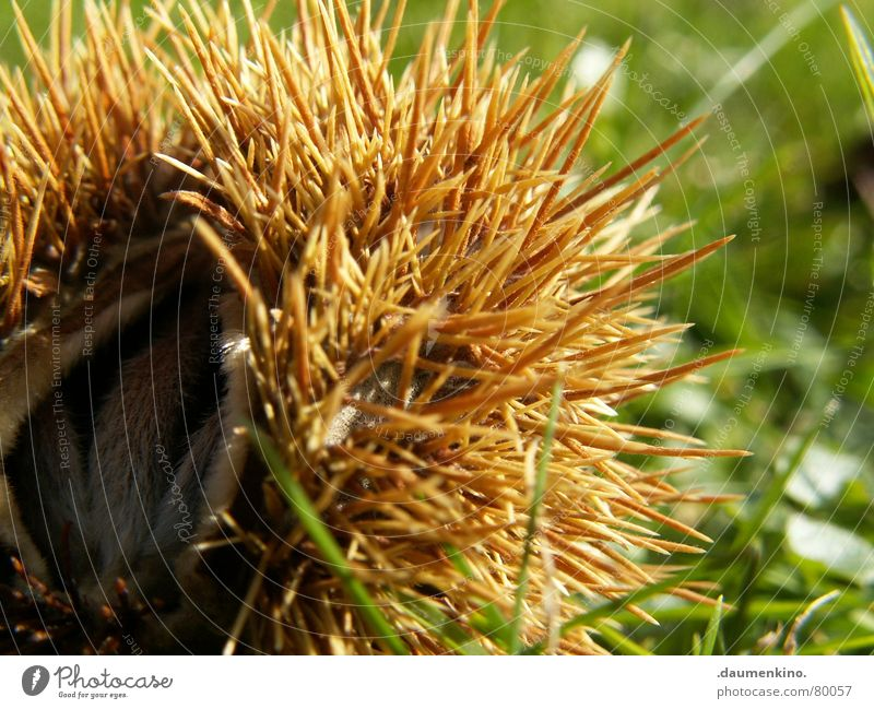 HedgehogSnailFruit Beech tree Beechnut Hostel Hiding place Protection Protective clothing Thorn Safe haven House (Residential Structure) Tree Grass Meadow