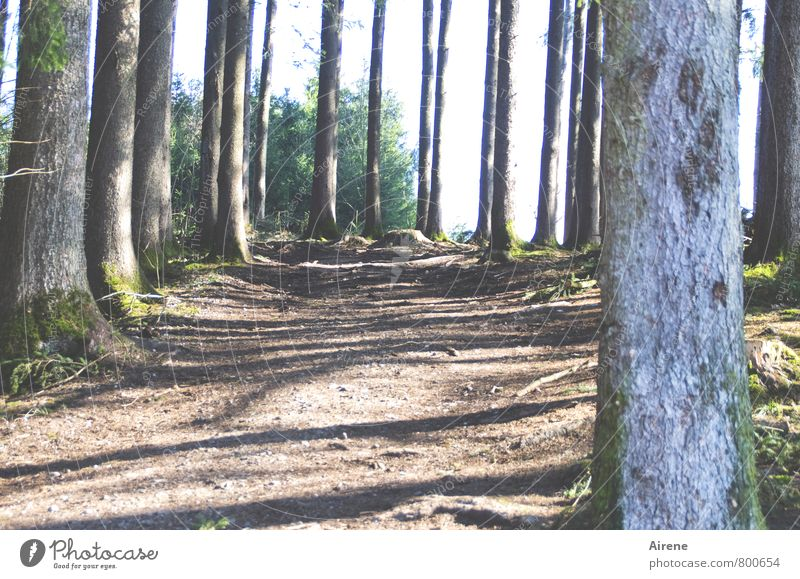 interstices Landscape Plant Earth Tree Moss Tree trunk Coniferous trees Forest Coniferous forest Lanes & trails Footpath Wood Brown Gray Disciplined Unwavering