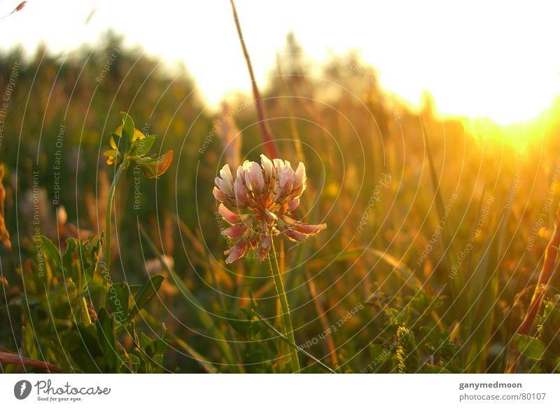 Grass blossoming at sunset Sunset Autumn Blossom Green Macro (Extreme close-up) Close-up Nature Idyll