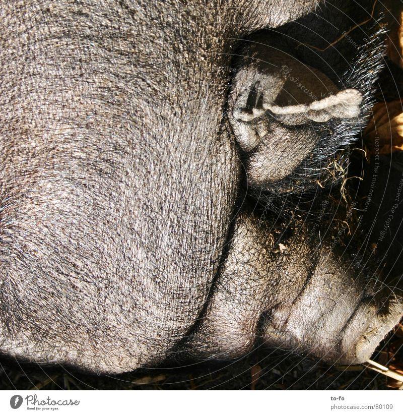 Animal Happy Funny Ear Wrinkles Fat Animalistic Fat Mammal Swine Elephant Bristles Trunk Livestock Offensive