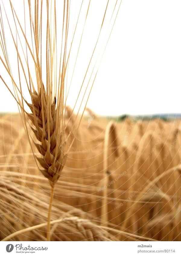 Espiga de trigo Countries Gastronomy pão comida espiga de trigo rural agricultura plantação campo rural area country