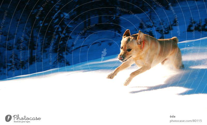 Hols sticks Dog Winter Cold Playing Animal Jump Mammal Walking Movement Snow Stick Walk the dog