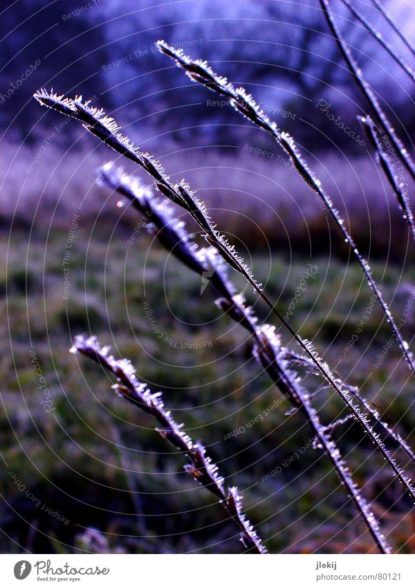 Here too Ice Cold Freeze Plant Ear of corn Grass Meadow Field Tree Winter Afternoon Dark Part of the plant Damp Dank Green Hoar frost Green space Frost Nature
