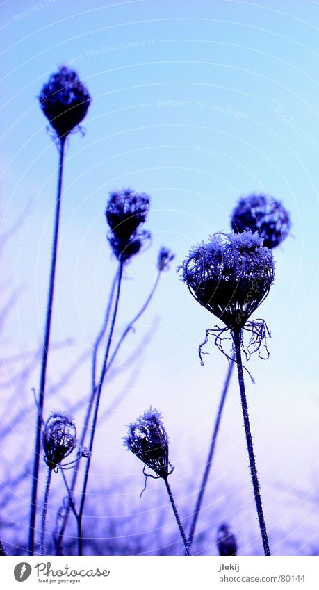 Sky Flower Blue Winter Cold Meadow Blossom Frost Soft Violet Delicate Blossoming Frozen Seasons Freeze Fragile