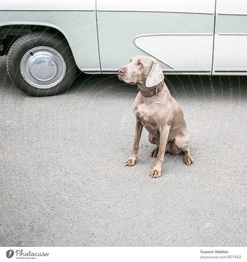 UT DD I saddle horses Car Animal Pet Dog Sit Weimaraner Stop (public transport) Asphalt Get in Vintage car Subdued colour Multicoloured Exterior shot Deserted