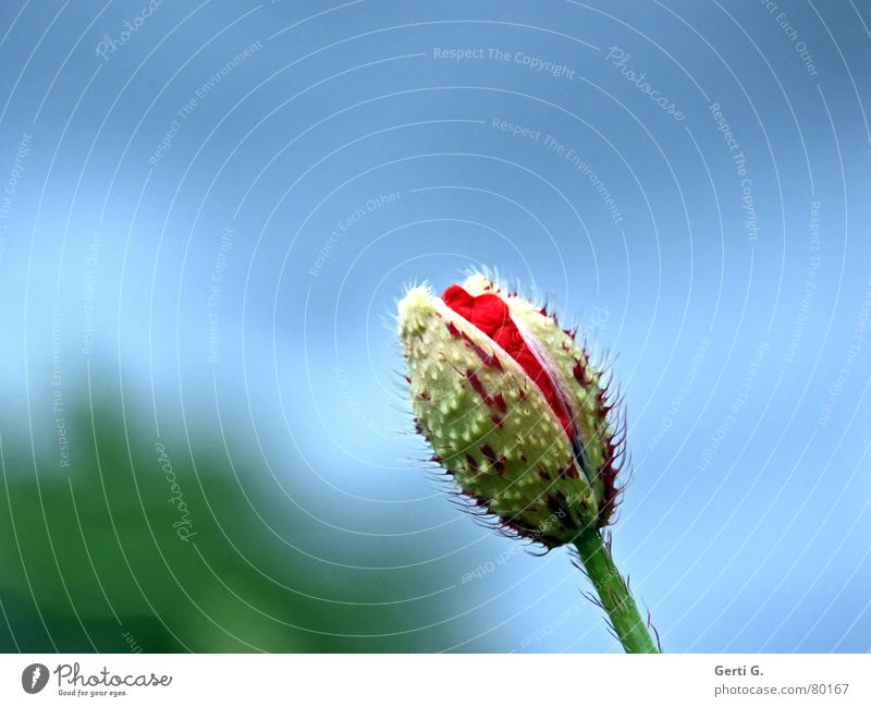 Nature Flower Green Blue Red Summer Loneliness Blossom Spring Fresh Happiness Open Delicate Blossoming Poppy