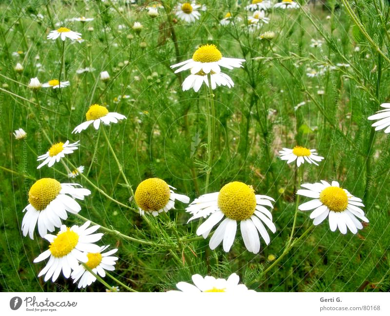 Nature Summer Flower Yellow Fragrance Blossom leave Daisy Marguerite Attempt Flower meadow Medicinal plant Rip Chamomile Oracle With love Camomile blossom