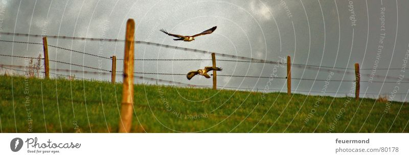 Flight into the year 2007 Bird of prey Animal Meadow Fence Storm Dangerous Bird hunting Judder Pasture Flying Freedom Aviation Hunting Sky Thunder and lightning