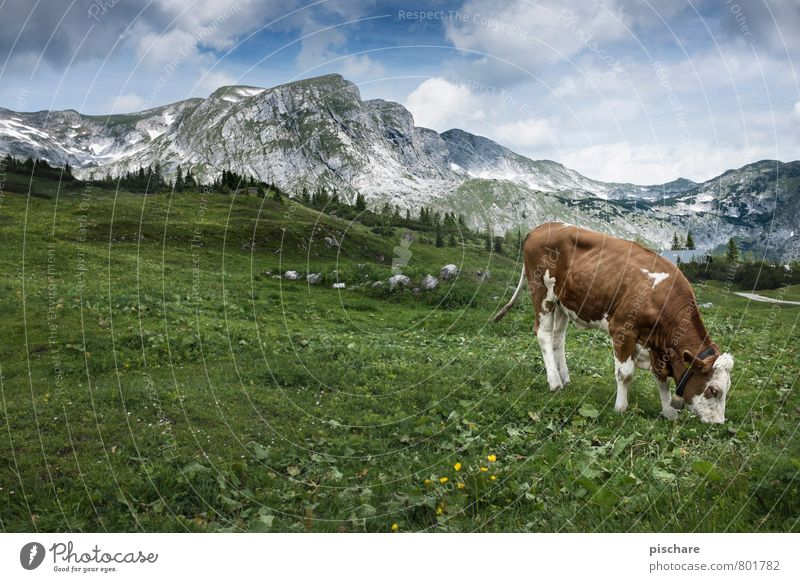 Simmental cattle Nature Landscape Meadow Mountain Farm animal Cow 1 Animal To feed Cliche Idyll Alpine pasture Home country Austria Colour photo Exterior shot