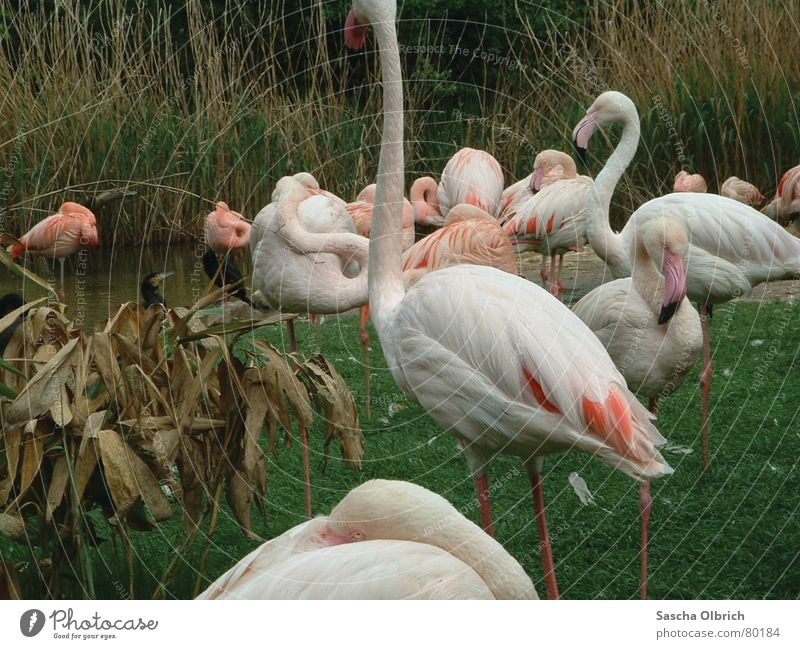 Flamingo in the zoo Flying animal Visitor Animal Zoo Meadow Green Green space Draft animal Zoology Berlin zoo Grass White Mammal One-legged Water Coast Lawn