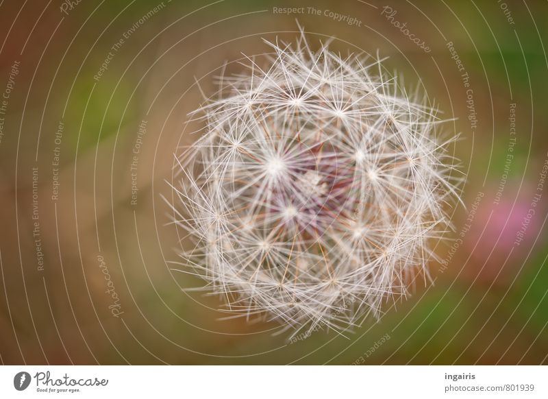 symmetry Nature Plant Wild plant Dandelion flying seeds Glittering Faded Natural Round Green Pink White Life Contentment Arrangement umbrella Symmetry