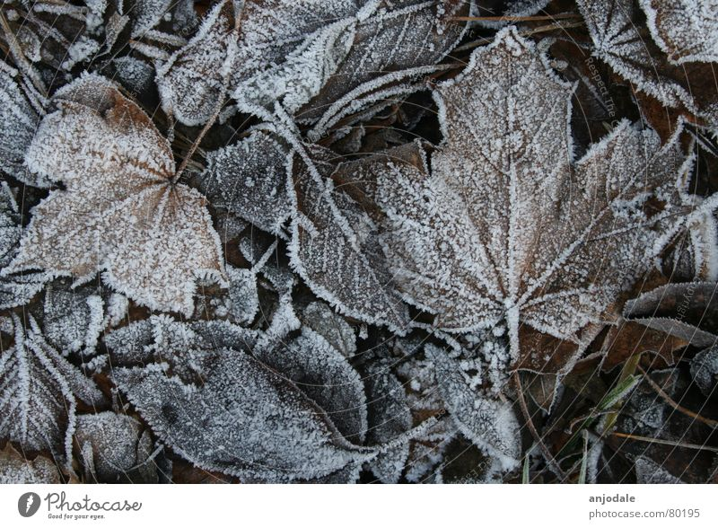 winter foliage Nature Earth Ice Frost Plant Leaf Sadness Bright Cold Brown White Grief Death Transience Maple tree Canada Hoar frost Sugar freezing cold