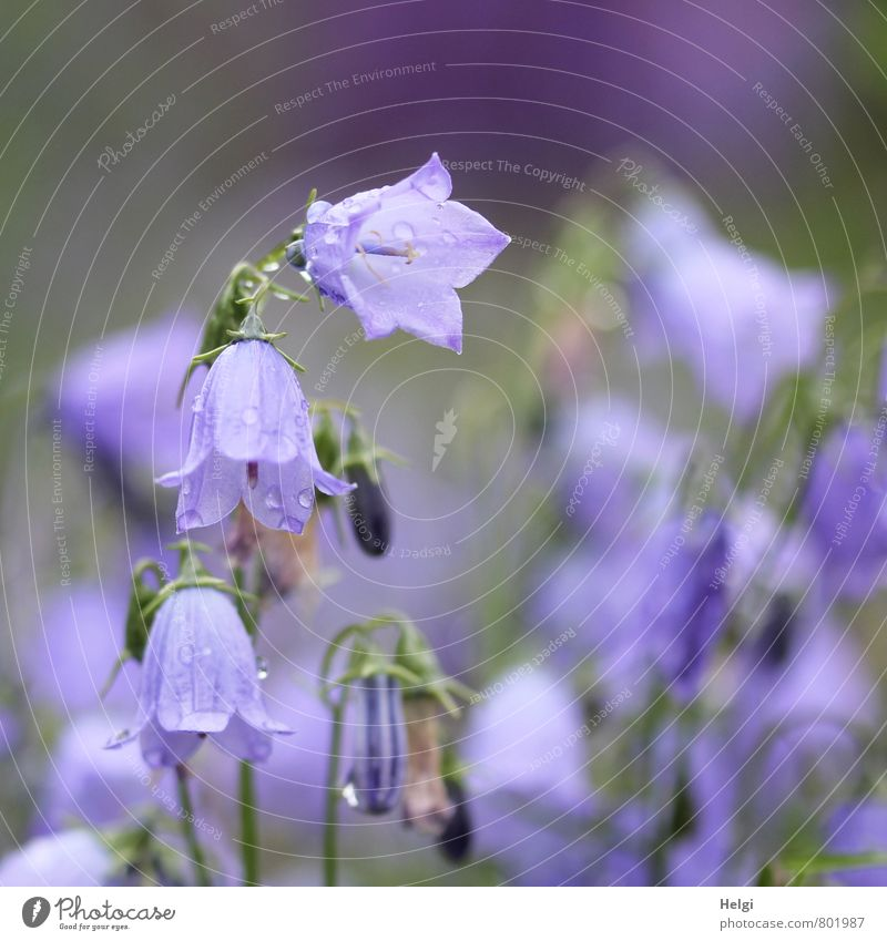bell-shaped Environment Nature Plant Summer Rain Flower Blossom Bluebell Bud Garden Blossoming Hang Growth Esthetic Beautiful Small Wet Natural Green Violet