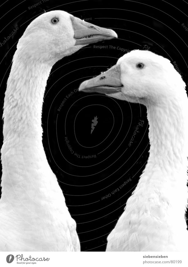 twofold Be confident Feather Together Goose Bird Beak 2 Mirror image Downy feather Like Looking Estimation Agriculture Poultry Ornithology Trust