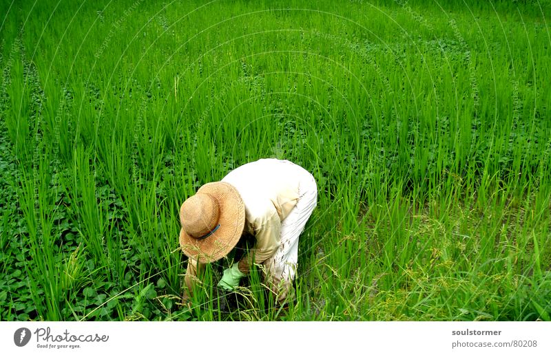weedkiller Paddy field Rice Temporary work Stress Attempt Overwork Proletarian Overburden Grass Meadow Green Man Working man Field Asia Japan Nutrition
