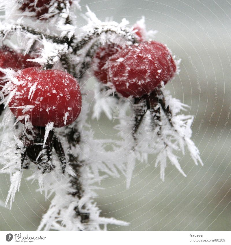 Christmas & Advent Plant Winter Cold Snow Death Ice Rose Flower Grief Frost End Frozen Botany